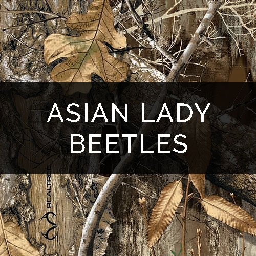 Asian Lady Beetle Removal – Pest Control Service