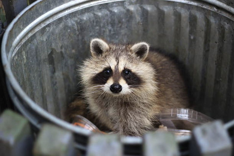 Wildlife Trapping for raccoons, skunks, woodchuck, squirrels