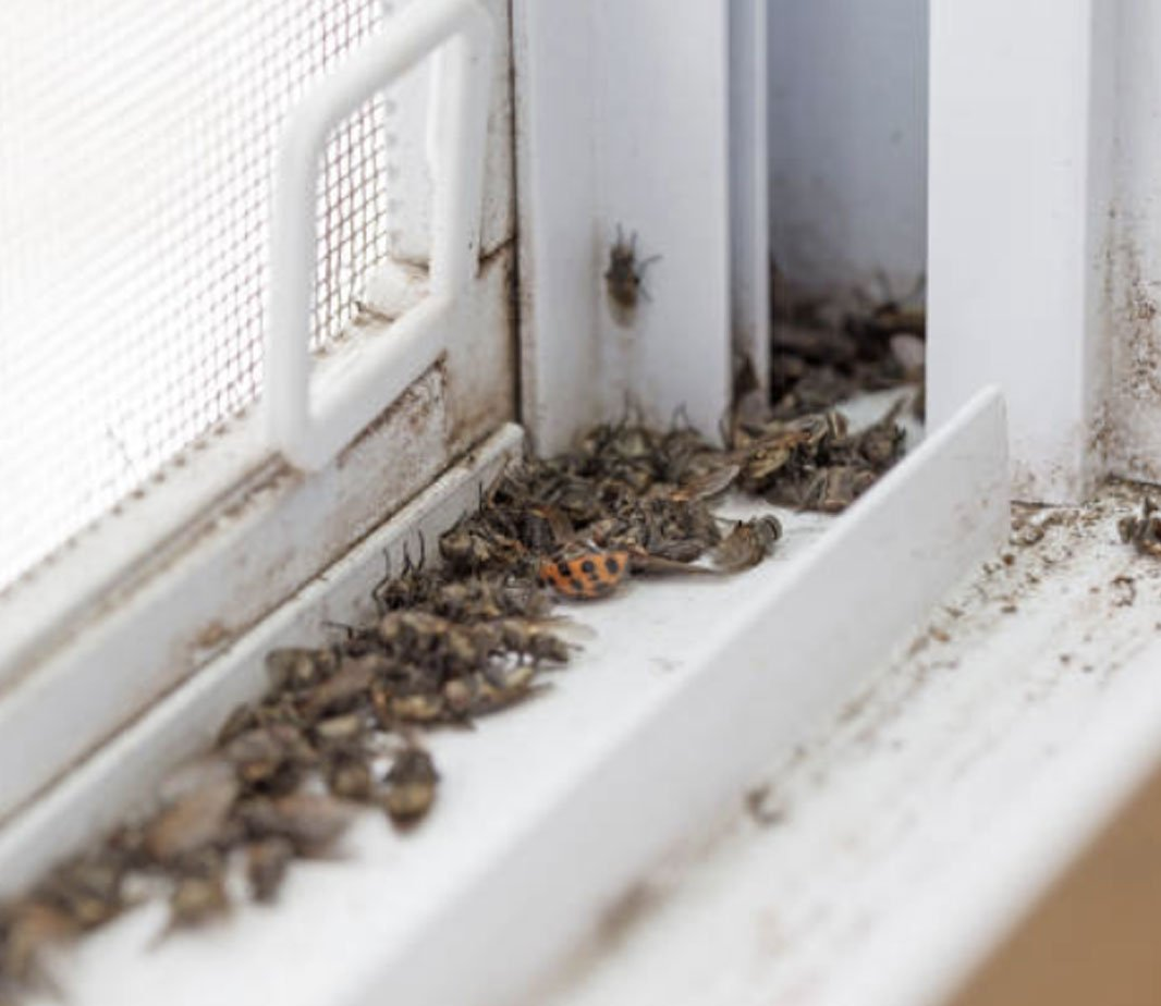 Asian Beetle Control